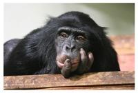 Chimpanzee_DPC_W