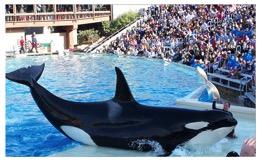 Corky_Oraca_Killer_Whale_San_DiegoW